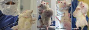 rat-tumors-from-gmos